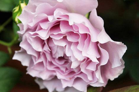 私の バラとーガーデニングショー 2012_a0264538_08053975.jpg