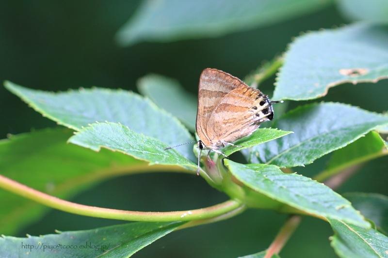 蝶のトラちゃん♪_d0367763_19152717.jpg