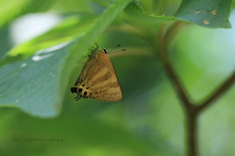 蝶のトラちゃん♪_d0367763_19152814.jpg