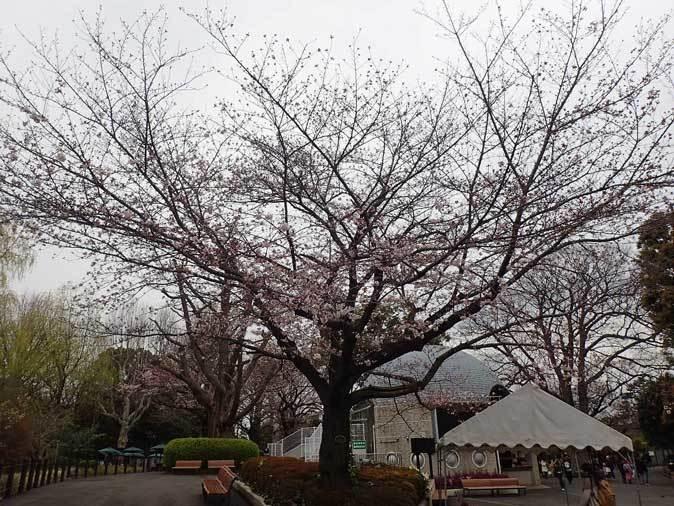 4月、雨と桜の上野動物園~NEWフェイス・クロキツネザル_b0355317_21265145.jpg