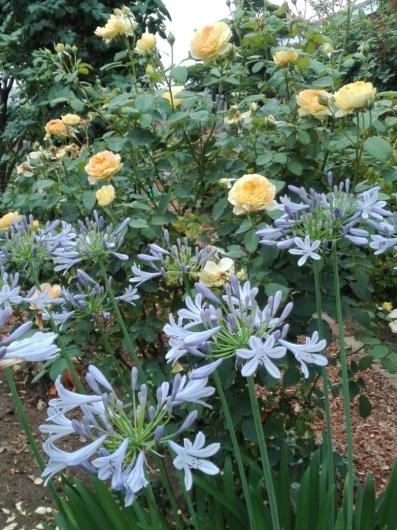 バラの返り咲きとアガパンサス_e0356469_09424565.jpg
