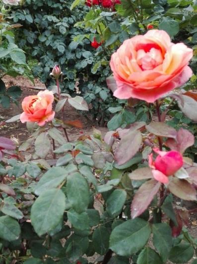 バラの返り咲きとアガパンサス_e0356469_09425292.jpg