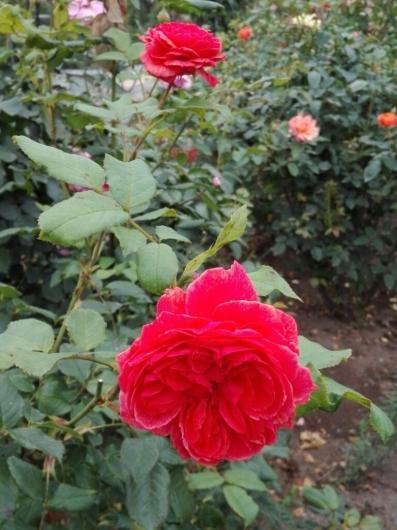 バラの返り咲きとアガパンサス_e0356469_09425664.jpg