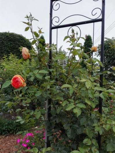 バラの返り咲きとアガパンサス_e0356469_09430150.jpg
