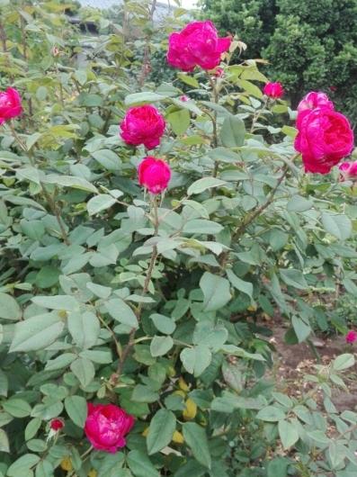 バラの返り咲きとアガパンサス_e0356469_09430644.jpg