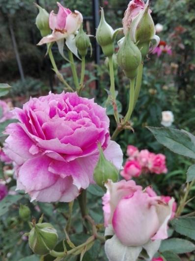 バラの返り咲きとアガパンサス_e0356469_09431039.jpg