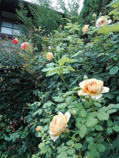 バラの返り咲きとアガパンサス_e0356469_09432173.jpg