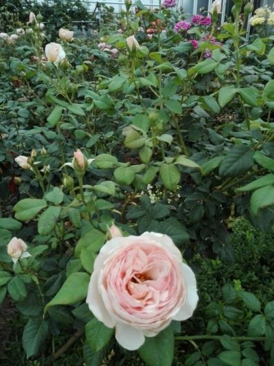 バラの返り咲きとアガパンサス_e0356469_09432632.jpg