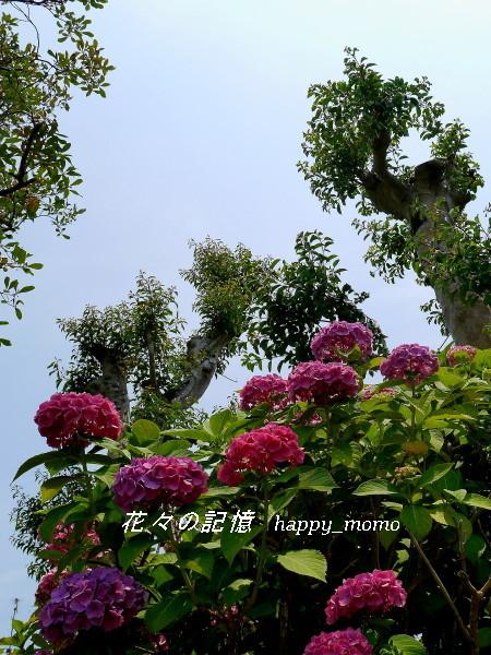 紫陽花の終焉 近し・・_c0357781_13060058.jpg