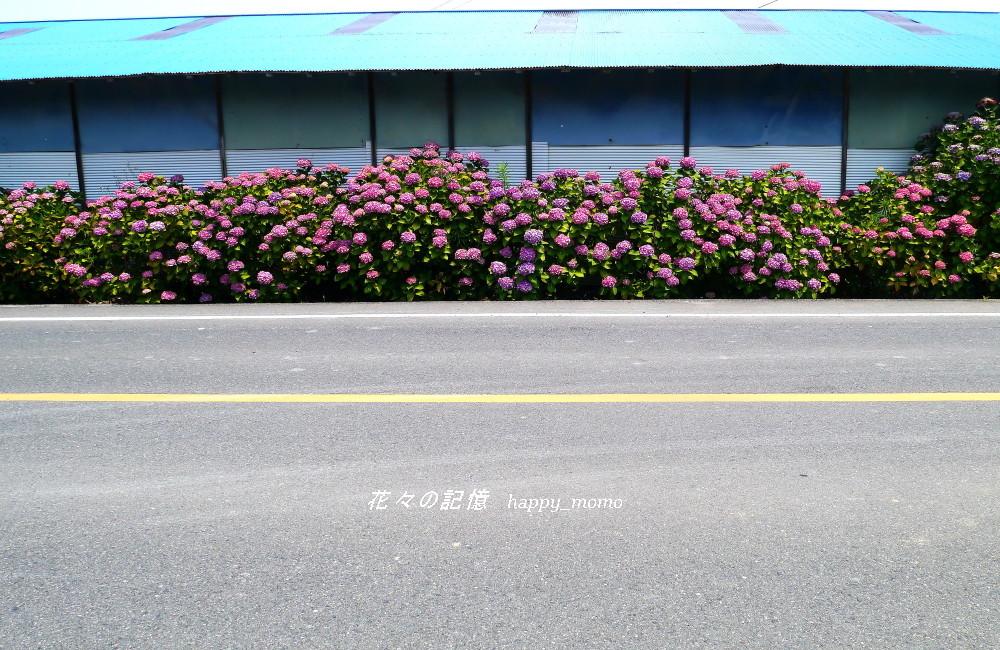 紫陽花の終焉 近し・・_c0357781_13062661.jpg