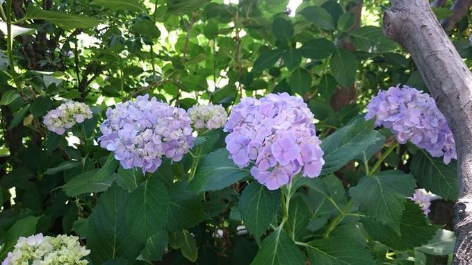 紫陽花が満開_c0066693_87329.jpg