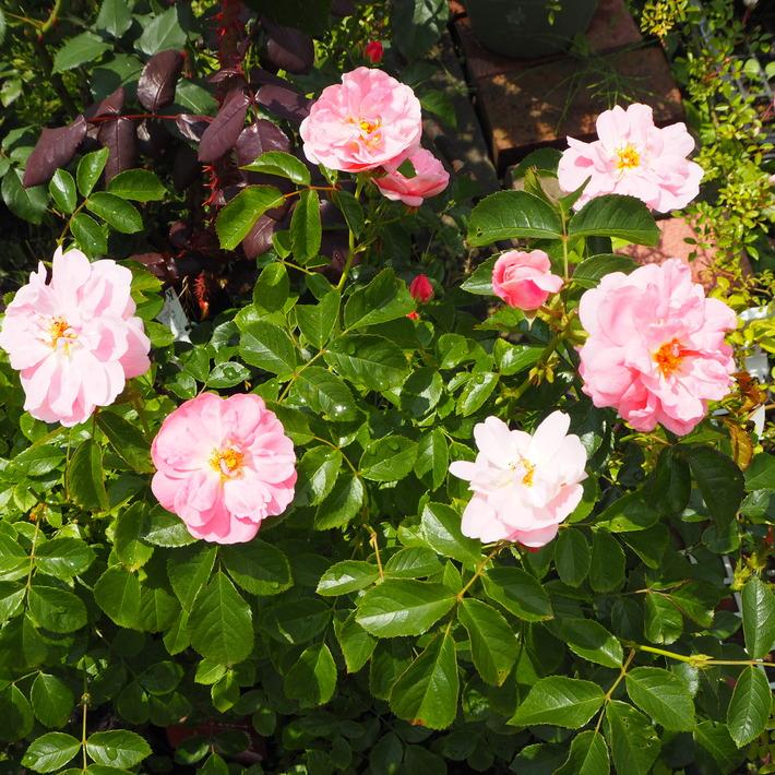 お店のバラたち①_a0292194_19373699.jpg