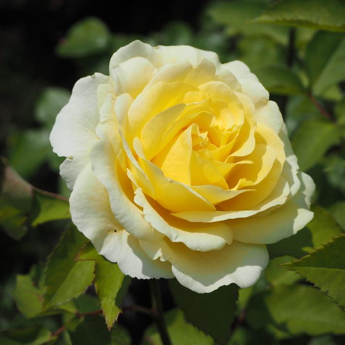 お店のバラたち①_a0292194_1940029.jpg