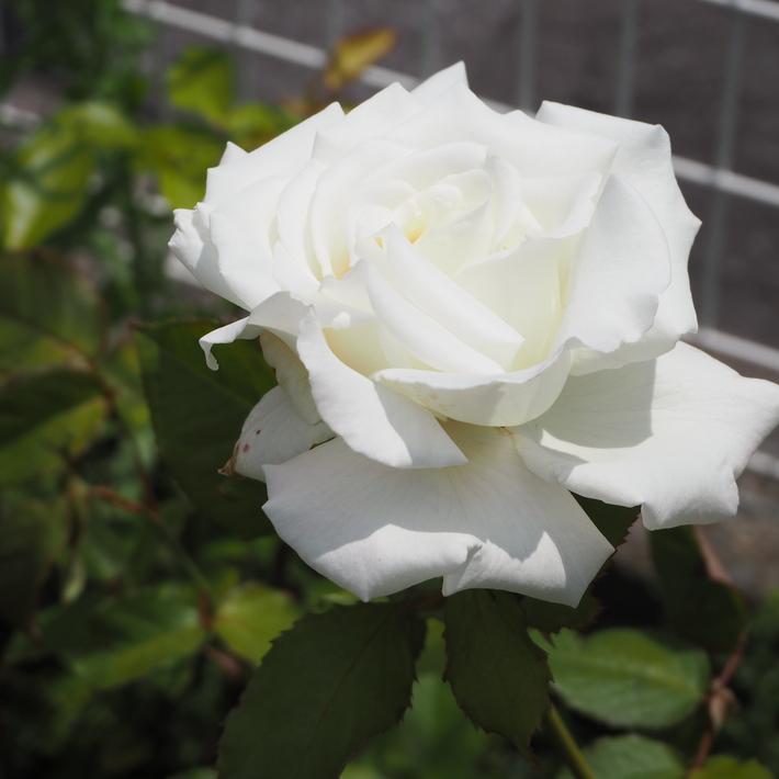 お店のバラたち①_a0292194_1947407.jpg