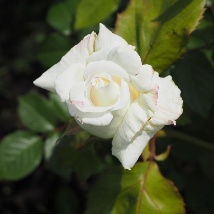 お店のバラたち①_a0292194_1951877.jpg