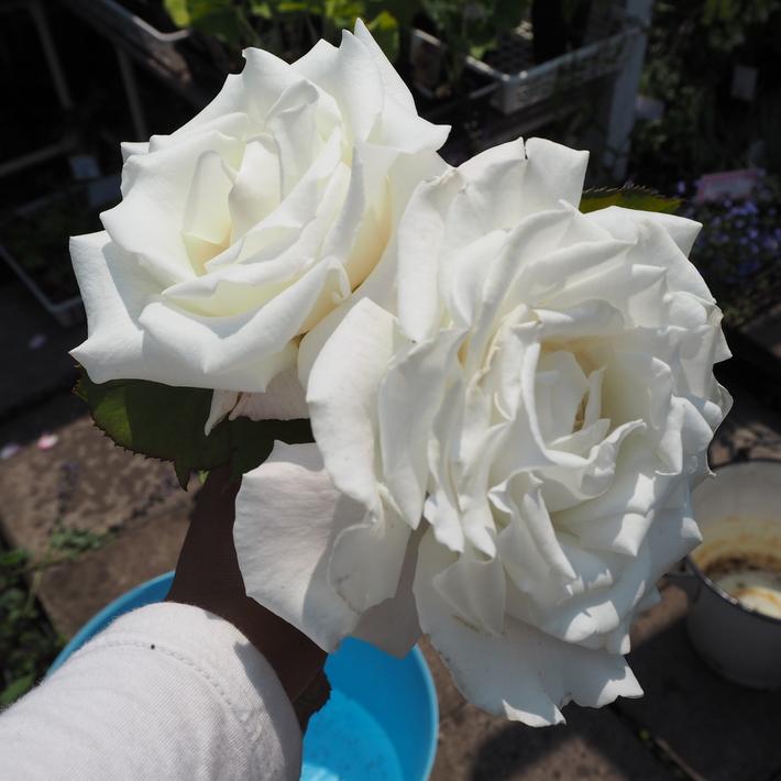 お店のバラたち①_a0292194_19521016.jpg
