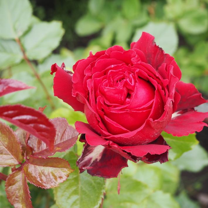 お店のバラたち①_a0292194_1955359.jpg