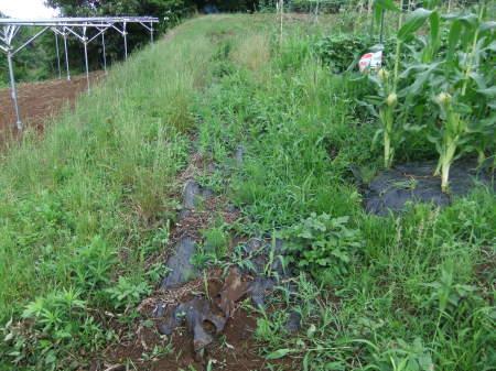 草を採って、レタスの定植_b0137932_17181324.jpg