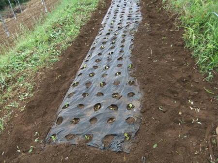 草を採って、レタスの定植_b0137932_17193307.jpg