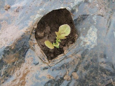 草を採って、レタスの定植_b0137932_17201092.jpg