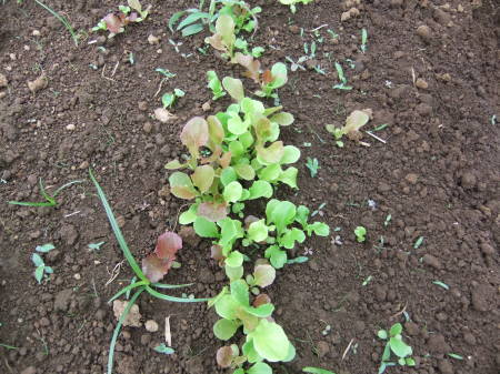 草を採って、レタスの定植_b0137932_17205320.jpg