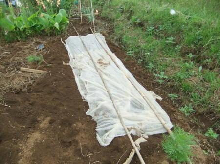 草を採って、レタスの定植_b0137932_17221473.jpg