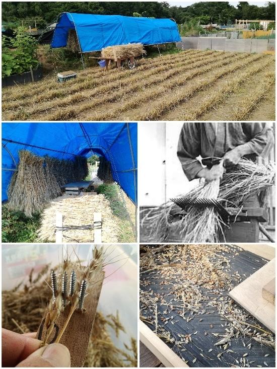 小麦(ゆめのかおり)刈入れ完了_c0063348_07122737.jpg