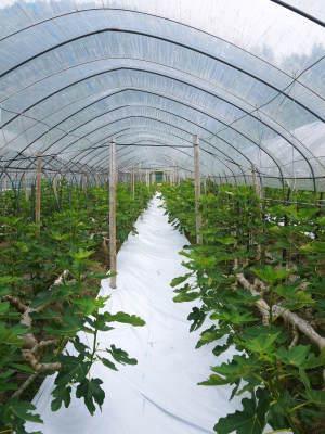 甘熟イチジク 今年も8月中旬からの出荷に向け、順調にそして元気に成長中!_a0254656_16482011.jpg