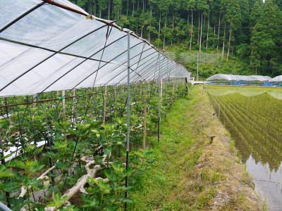 甘熟イチジク 今年も8月中旬からの出荷に向け、順調にそして元気に成長中!_a0254656_16555941.jpg