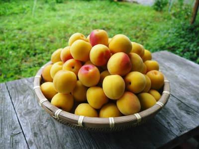 甘熟イチジク 今年も8月中旬からの出荷に向け、順調にそして元気に成長中!_a0254656_17063781.jpg