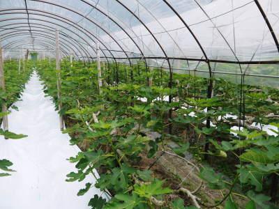 甘熟イチジク 今年も8月中旬からの出荷に向け、順調にそして元気に成長中!_a0254656_17160462.jpg