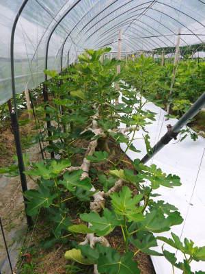 甘熟イチジク 今年も8月中旬からの出荷に向け、順調にそして元気に成長中!_a0254656_17393276.jpg