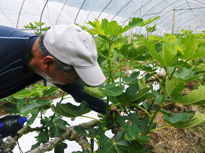 甘熟イチジク 今年も8月中旬からの出荷に向け、順調にそして元気に成長中!_a0254656_17585284.jpg