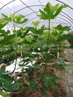 甘熟イチジク 今年も8月中旬からの出荷に向け、順調にそして元気に成長中!_a0254656_18030815.jpg