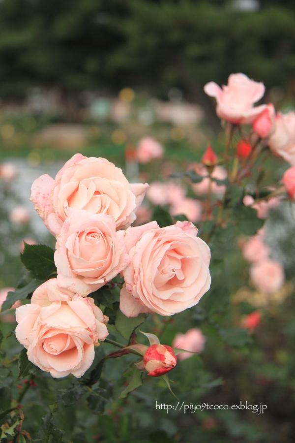 薔薇と言えば・・・♪_d0367763_21051801.jpg