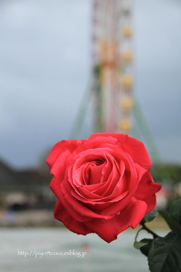 薔薇と言えば・・・♪_d0367763_21051910.jpg