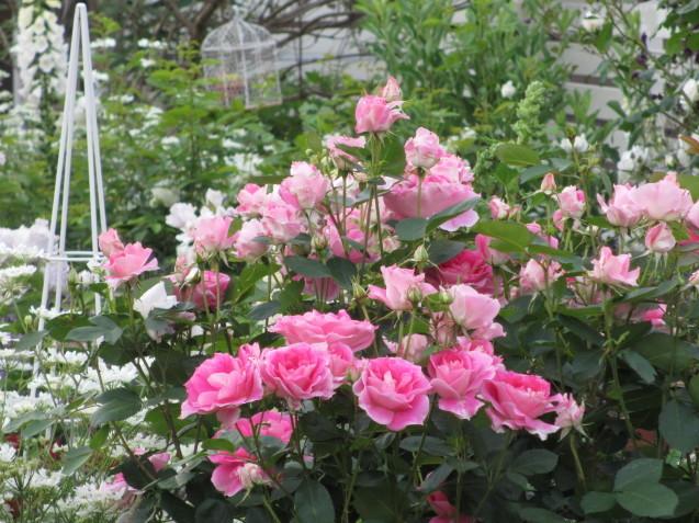 今年のバラや草花が綺麗だった頃~♪_a0243064_20143210.jpg