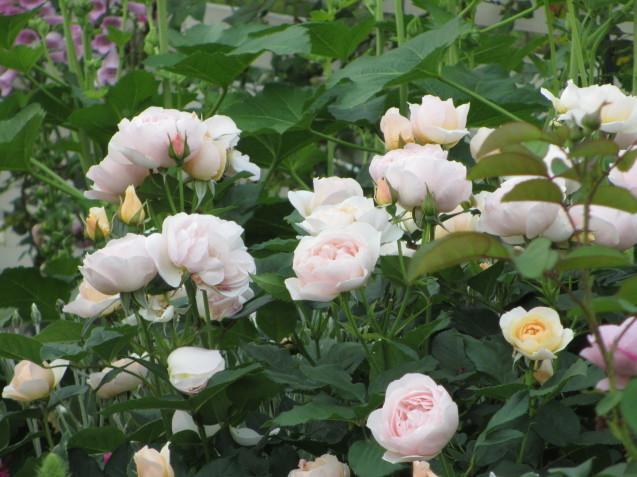 今年のバラや草花が綺麗だった頃~♪_a0243064_20154983.jpg