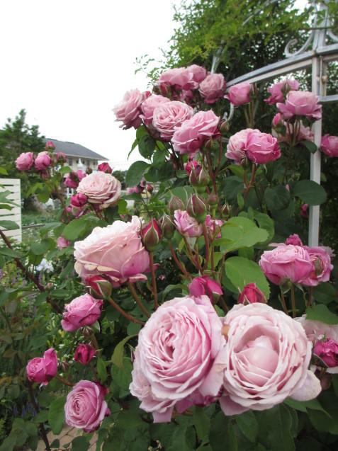 今年のバラや草花が綺麗だった頃~♪_a0243064_20174071.jpg