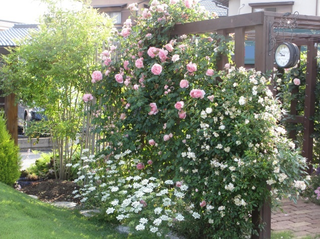 今年のバラや草花が綺麗だった頃~♪_a0243064_20552845.jpg