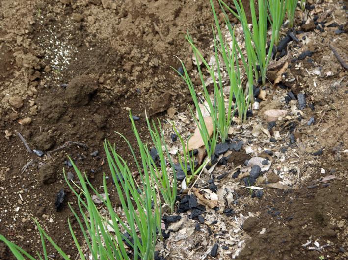 青ネギに炭撒き・追肥・土寄せ・ノーザンルビー試掘り6・29_c0014967_828830.jpg