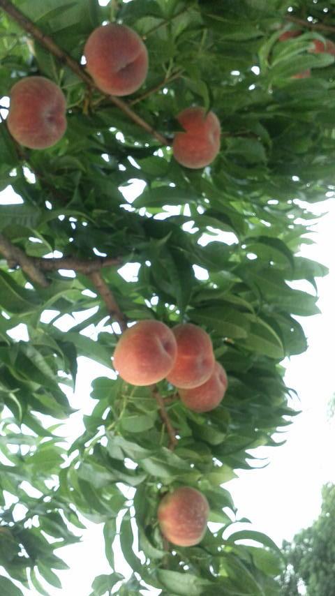 日川白鳳の収穫が開始しました_f0325525_1132230.jpg