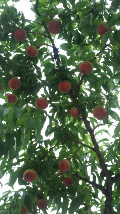 日川白鳳の収穫が開始しました_f0325525_1132284.jpg