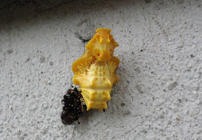 ジャコウアゲハの蛹化 7月1日 庭にて_d0254540_10134095.jpg