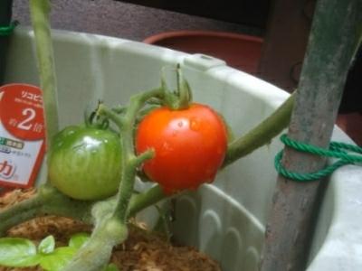 いんげん豆3本、トマト1個収穫(自宅鉢植え)_c0330749_13391240.jpg