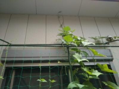 いんげん豆3本、トマト1個収穫(自宅鉢植え)_c0330749_13391330.jpg
