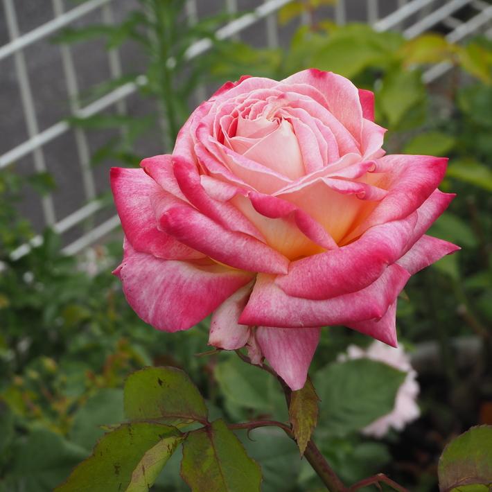 お店のバラたち②_a0292194_12185011.jpg
