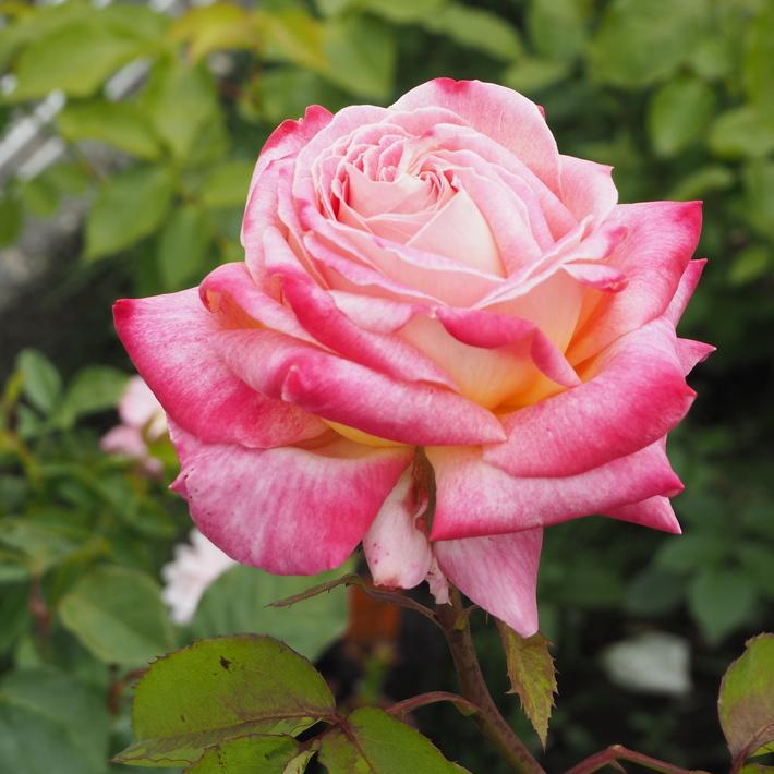 お店のバラたち②_a0292194_1219773.jpg