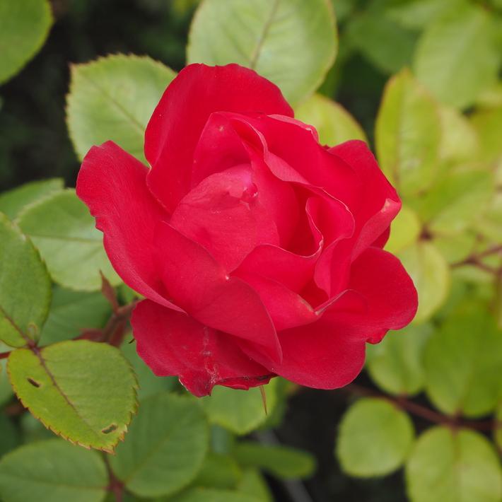 お店のバラたち②_a0292194_12202868.jpg