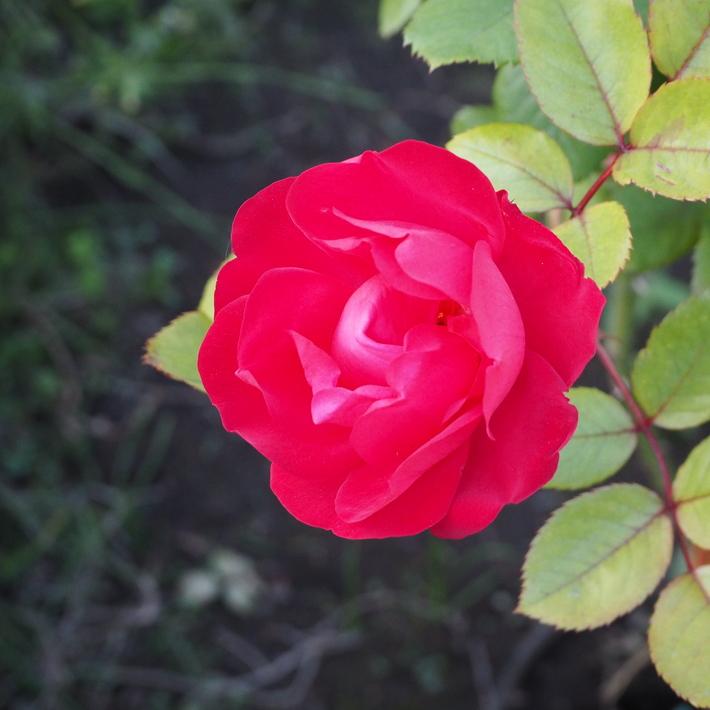 お店のバラたち②_a0292194_12545625.jpg